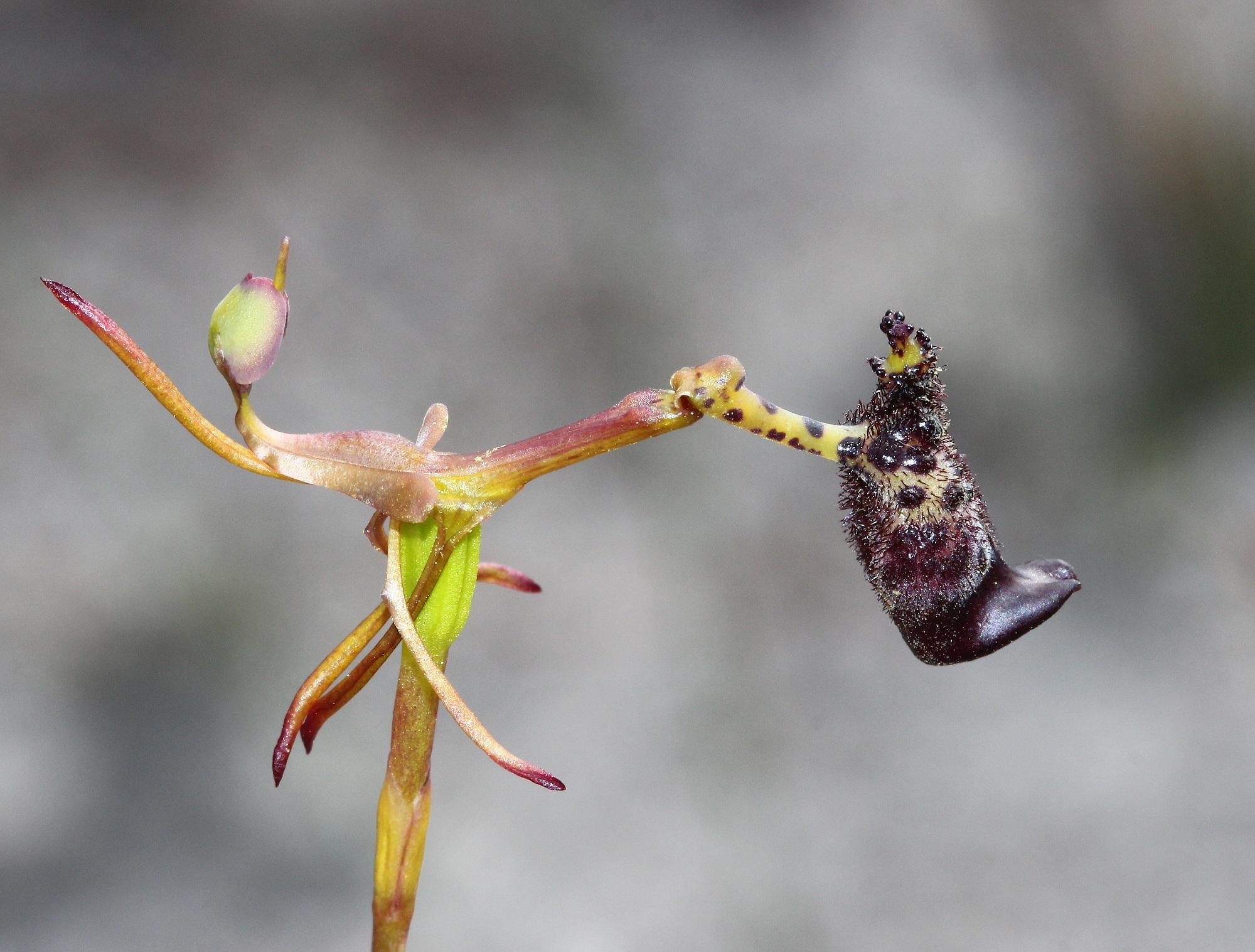 Warty Hammer Orchid Drakaea Livida  Lachlan C Cof05