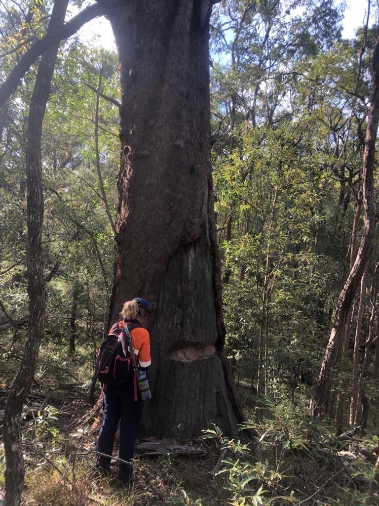 Eucalyptus Microcorys Toohey Forest Reserve 2