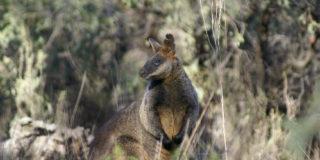 kangaroo 500x350px