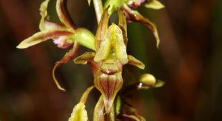 Prasophyllum Copelandii @ Carrai Aa2