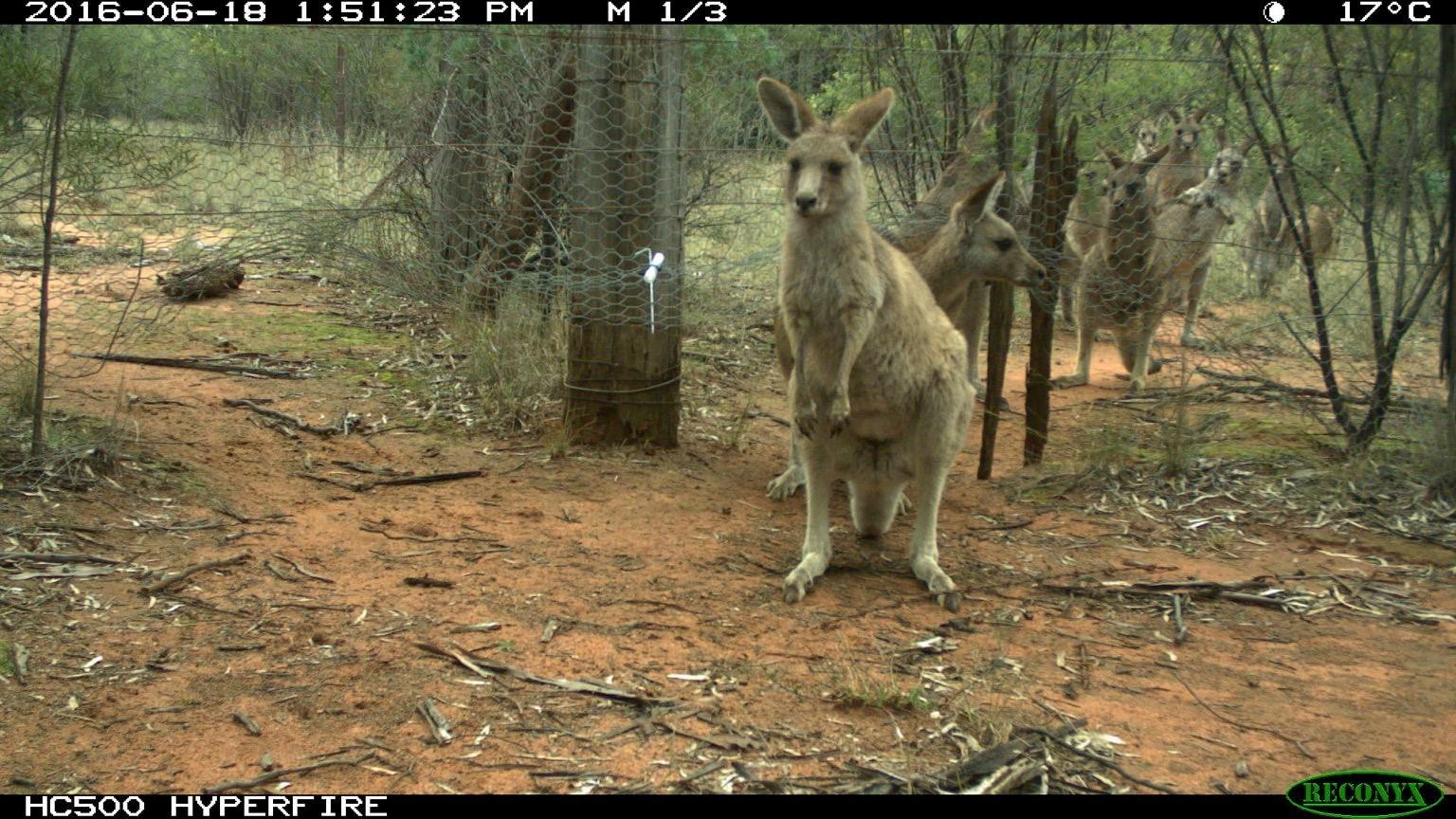 Kangaroo Lineup
